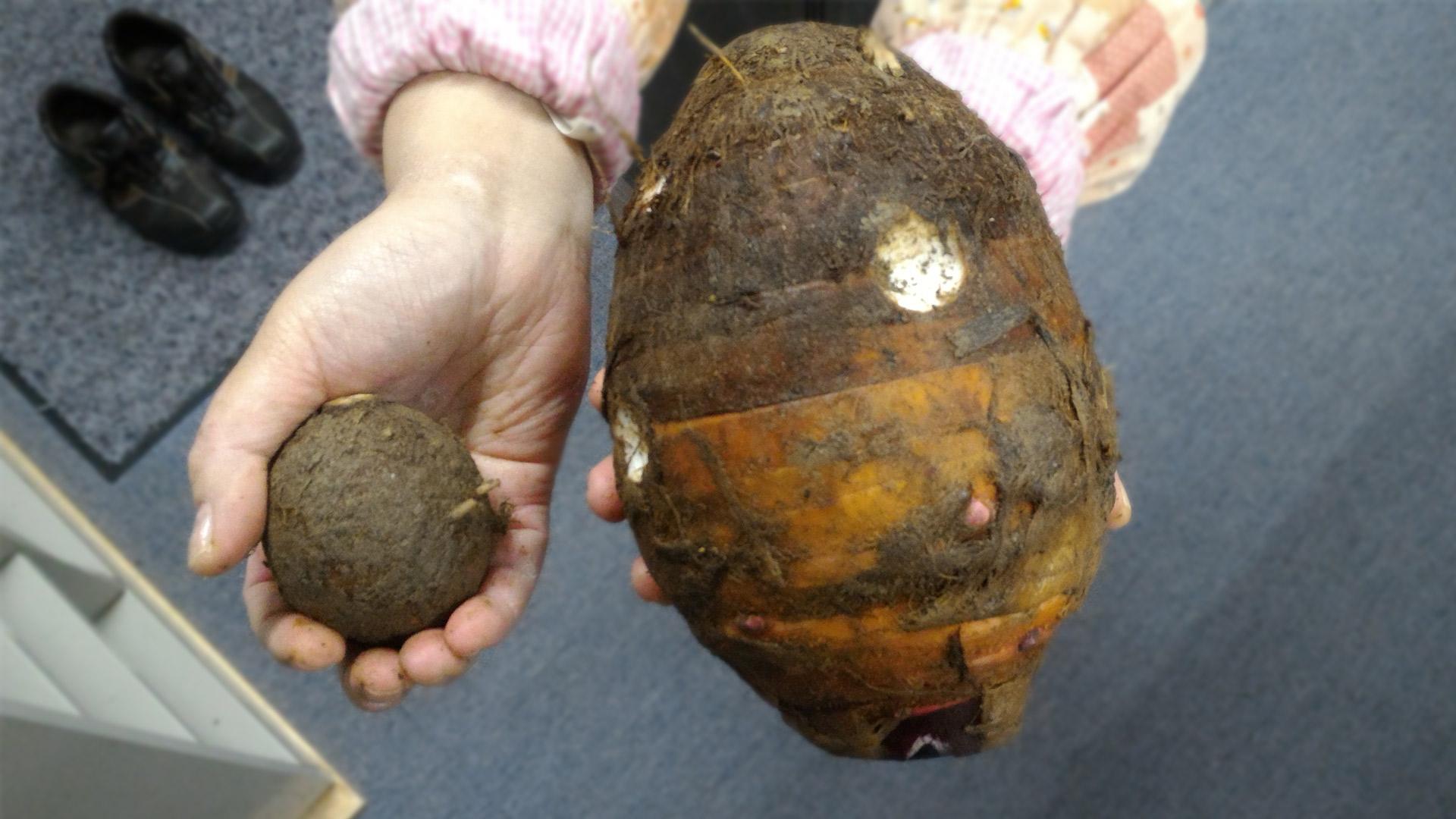 里芋の親芋と子芋