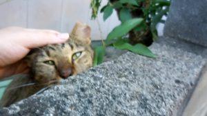 さくらねこ_長崎猫 (20)