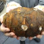 お正月の縁起物 ふとか(大きな)里芋