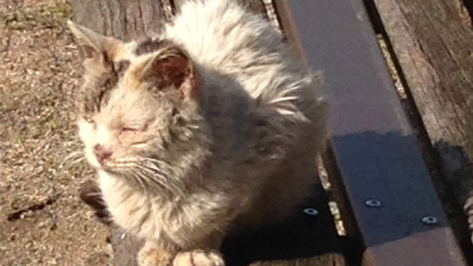 Japanese cat Nishiki