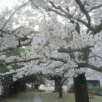 桜町公園で桜の花見